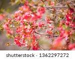 cherry pink blossom in spring... | Shutterstock . vector #1362297272