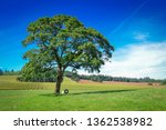 Big Tree In A Field With A Tir...