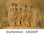 suricate or meerkat  suricata...   Shutterstock . vector #1362639