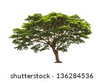 Rain Tree  Albizia Saman  ...
