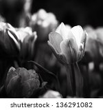 Tulips  Very Detailed  In Blac...