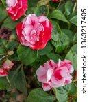 impatiens walleriana or lizzie... | Shutterstock . vector #1363217405