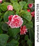 impatiens walleriana or lizzie... | Shutterstock . vector #1363217588