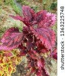 coleus or  solenostemon... | Shutterstock . vector #1363225748