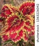 coleus or  solenostemon... | Shutterstock . vector #1363226042