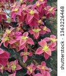 coleus or  solenostemon... | Shutterstock . vector #1363226468