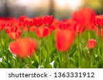 group of red tulips in the park.... | Shutterstock . vector #1363331912