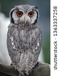 White Faced Scops Owl Perched...