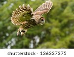 Stock photo tawny owl flying tawny or brown owl captured in flight 136337375