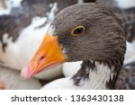 Wild Goose. Ostrich In The Wil...