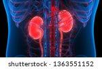 Human Urinary System Kidneys...