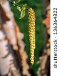 Birch Tree Catkins Hang With...