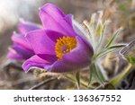 Primrose   Wild Flower Bloomin...