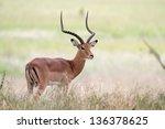 Male Impala Antelope Standing...