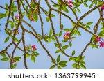 Plumeria Flower Desert Rose...