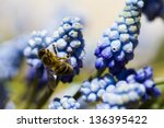Common Grape Hyacinth  Muscari...