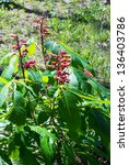 Small photo of Aesculus Pavia - red buckeye