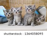 Stock photo kittens striped gray scottish sit cute kittens 1364058095