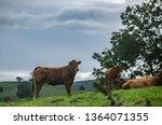 british beef cows lying down in ...   Shutterstock . vector #1364071355