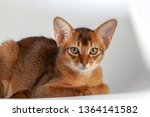 abyssinian cat named jam  3... | Shutterstock . vector #1364141582