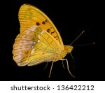 Small photo of A close up of the butterfly (Brentis). Isolated on black.