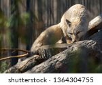 A Corsac Fox  Vulpes Corsac ...