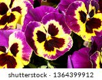 Pansy Is A Amazing Flower And...