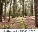 pine forest with footpath ... | Shutterstock . vector #1364618282