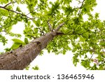 Canopy of plum tree at spring with lush foliage. - stock photo
