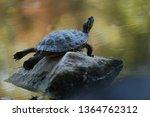 Turtle Yoga On Rock