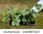 young organic strawberry plants ... | Shutterstock . vector #1364887625