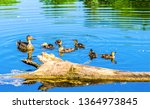 Duck With Ducklings On Water....
