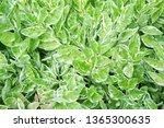 top view of closeup natural... | Shutterstock . vector #1365300635
