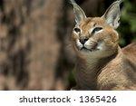three quarter view of caracal... | Shutterstock . vector #1365426