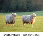 pair of sheep in field at... | Shutterstock . vector #1365548558