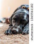 black labrador dog takes nap | Shutterstock . vector #1365561182