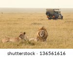 African Lion Couple And Safari...