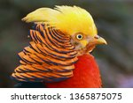 The Golden Pheasant Or Chinese...