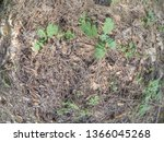 forest glade with needles.   Shutterstock . vector #1366045268
