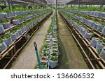 seedling strawberries with bag... | Shutterstock . vector #136606532