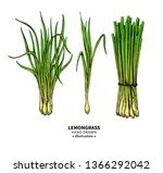 lemongrass vector drawing.... | Shutterstock .eps vector #1366292042