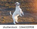 purebred jack russel terrier... | Shutterstock . vector #1366320908