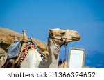 portrait of a camel with a... | Shutterstock . vector #1366324652