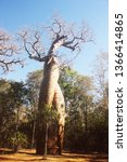 baobabs in love. these two... | Shutterstock . vector #1366414865
