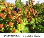 Berries Blackberries While...