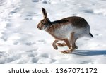 Stock photo hare runs on white snow in winter 1367071172
