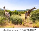 South African Giraffe Or Cape...