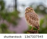 Stock photo the bureaucratic owl also called field buckthorn field owl owl owl buck owl owl owl guede 1367337545