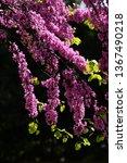 Mexican Redbud Tree Springtime...