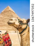 camel at great pyramids in... | Shutterstock . vector #1367497352